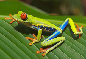 A Red-eyed Tree Frog in Costa Rica (photo credit: Wikimedia Commons)